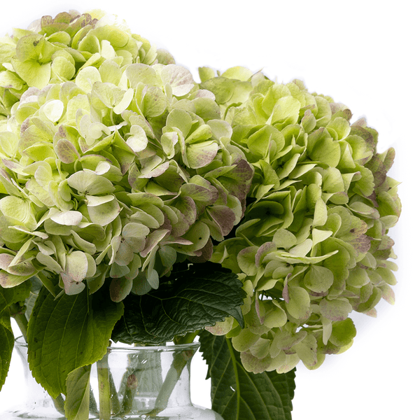 Winter Green Hydrangea