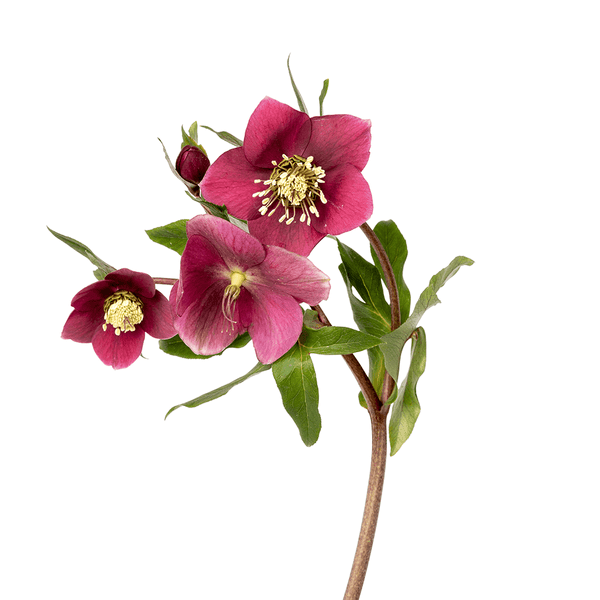 Hellebores - Fruits Of The Forest