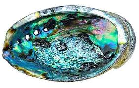 Red Abalone Shell 5in