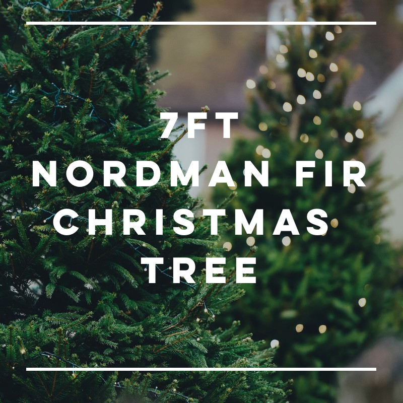 7FT Nordman Fir Christmas Tree