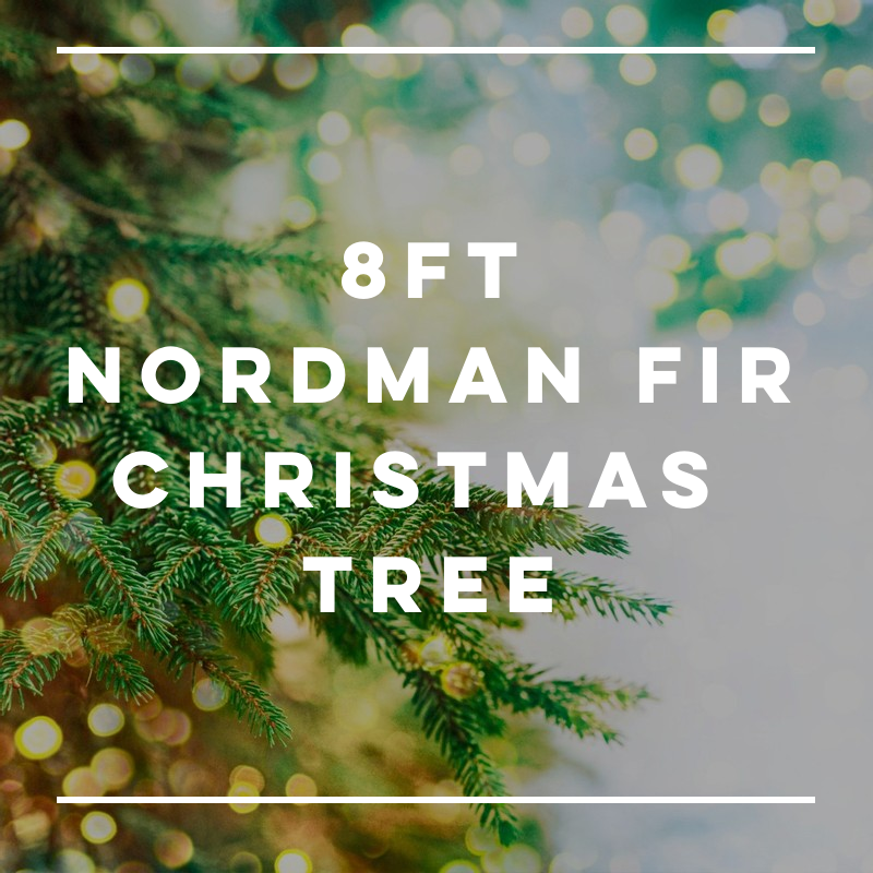 8FT Nordman Fir Christmas Tree