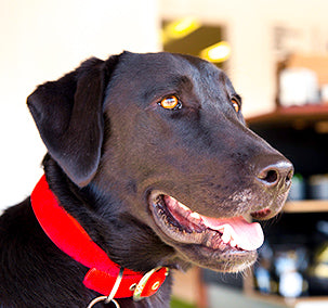 black labrador red dog collar