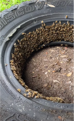 Bee removal cut out from a tire by Santa Barbara Hives