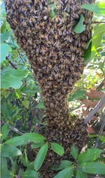 Super bee swarm in a bush in Santa Barbara rescued by Santa Barbara Hives!