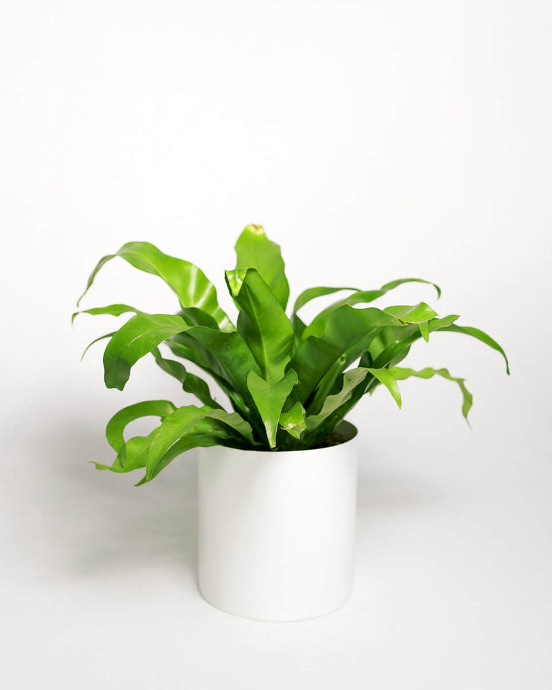 "Bird's Nest Fern (4"" - 6"")"