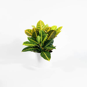 "Load image into Gallery viewer, Croton Petra (4""-6"")"