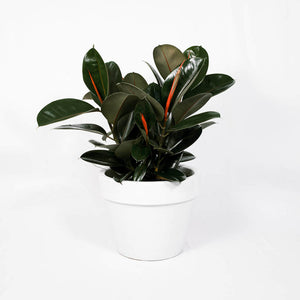 Load image into Gallery viewer, Ficus Decora Burgundy Bush
