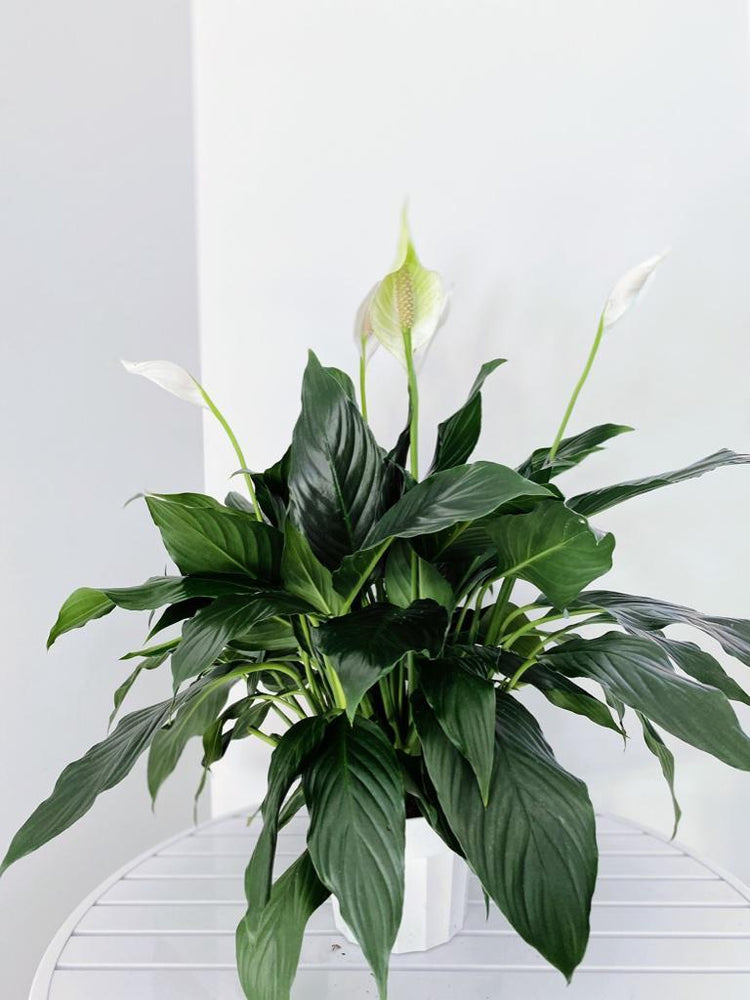 Spathiphyllum Crystal (Peace Lily)