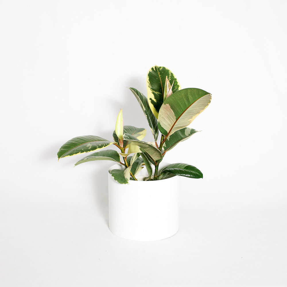 "Load image into Gallery viewer, Ficus Decora Tineke (Various Sizes 4"", 6"")"