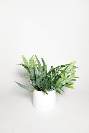 Phlebodium aureum (Blue Star Fern)
