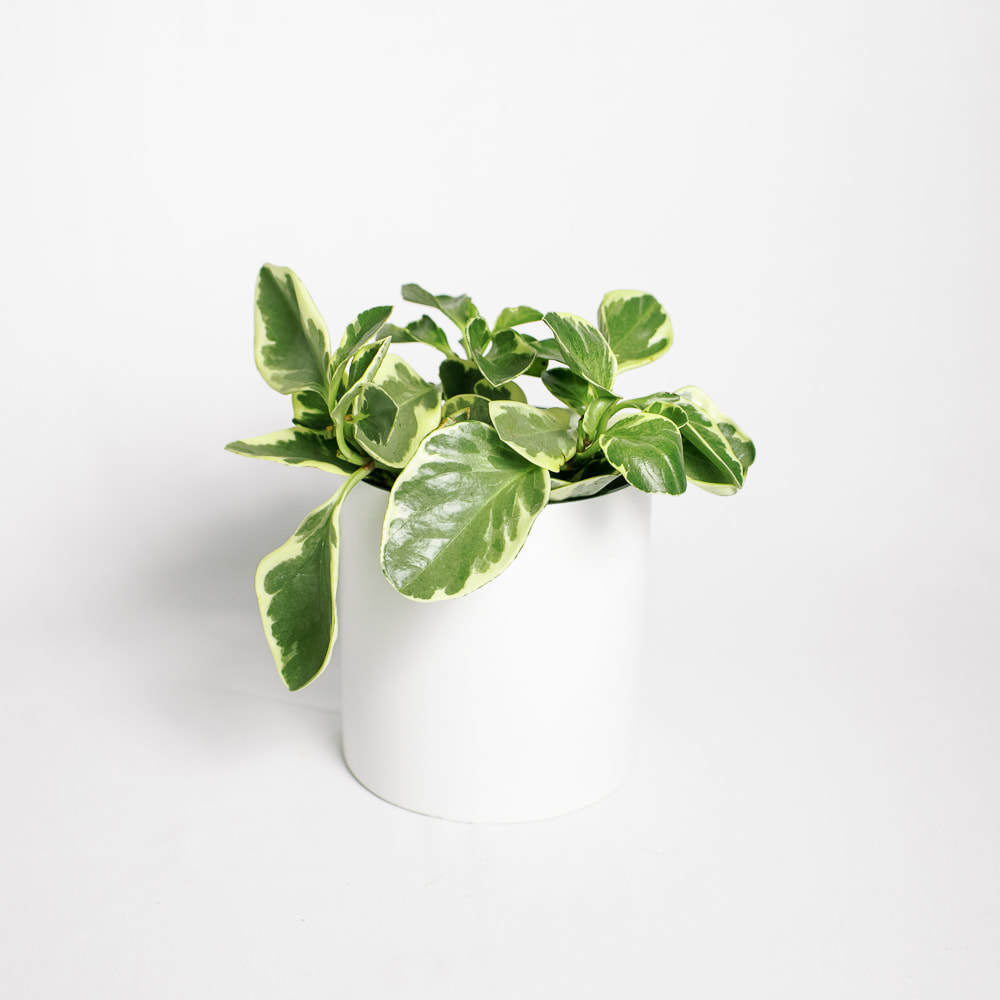 Load image into Gallery viewer, Peperomia Variegated