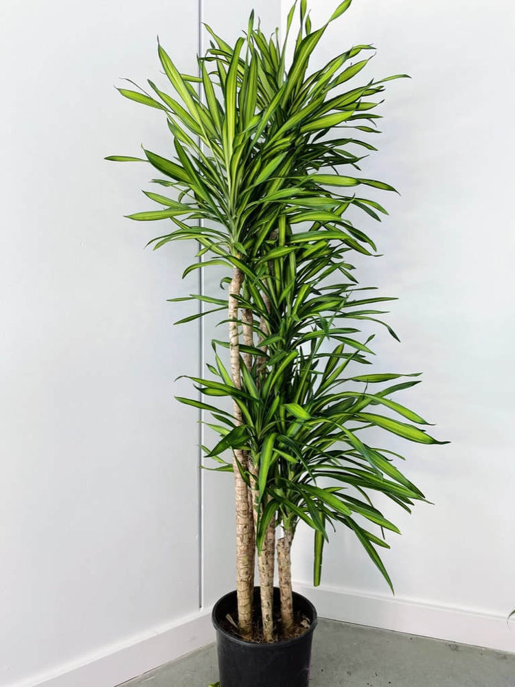 Load image into Gallery viewer, Dracaena Rikki