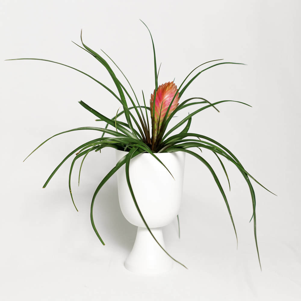 Load image into Gallery viewer, Tillandsia Wallisia Cyanea (Pink)