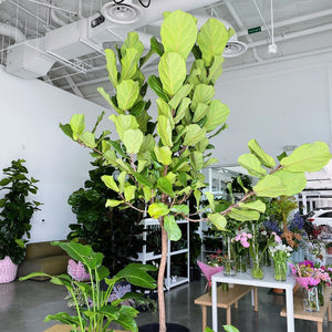 "Load image into Gallery viewer, 17"" Ficus Lyrata Everglades, Standard 8'+"