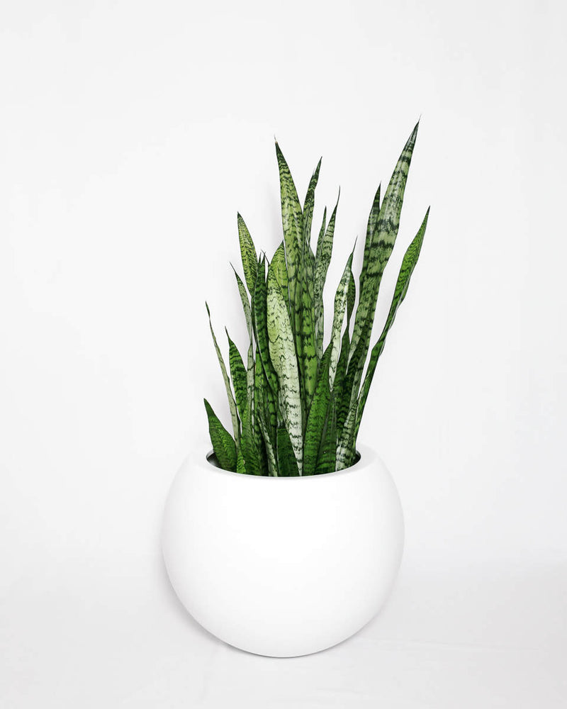 Load image into Gallery viewer, Sansevieria (Snake Plant)