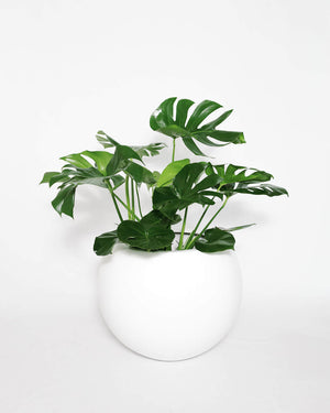 "Load image into Gallery viewer, Monstera Deliciosa, Split Leaf Philodendron (8""-14"")"