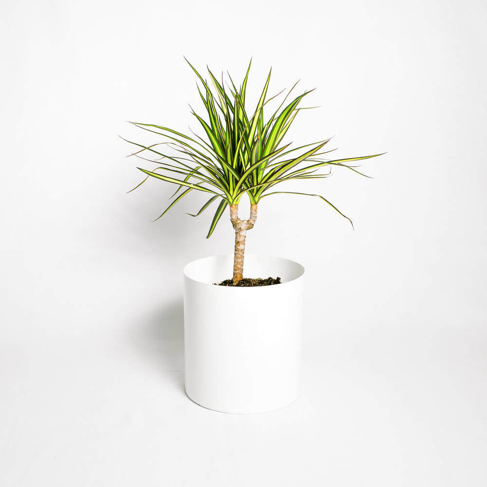 Load image into Gallery viewer, Dracaena Sunray Cane