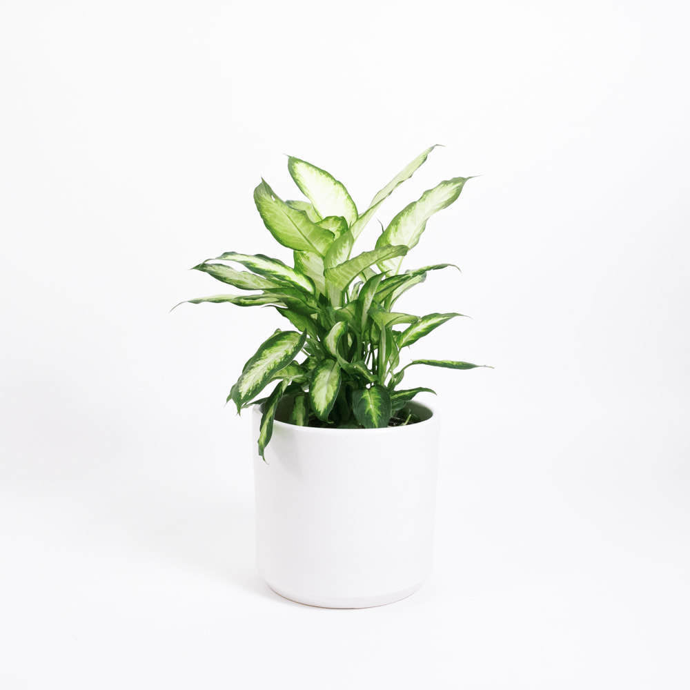 Load image into Gallery viewer, Dieffenbachia Camille