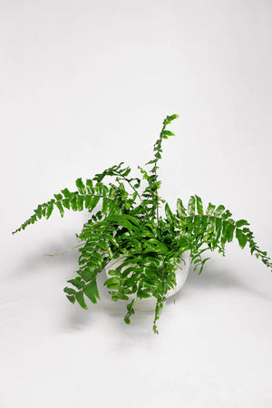 Load image into Gallery viewer, Macho Fern