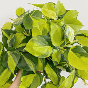 "Philodendron Cordatum Heart Leaf Brasil (Sizes 4""-6"")"