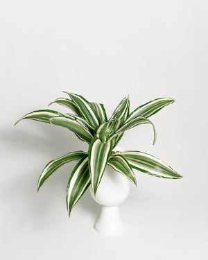 Load image into Gallery viewer, Dracaena White Bird