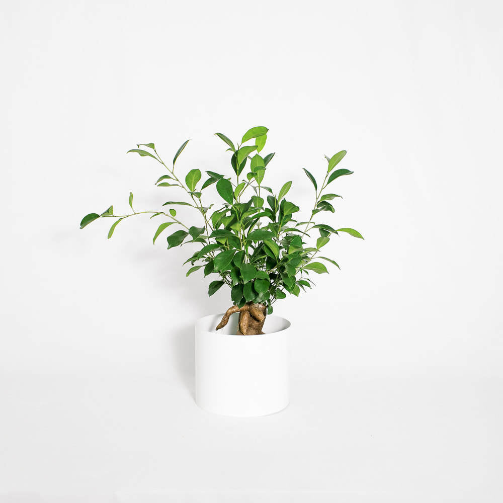 Load image into Gallery viewer, Ficus Benjamina 8""