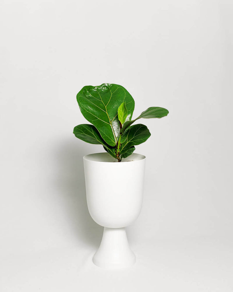 Load image into Gallery viewer, Ficus Lyrata Little Sunshine