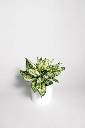 Load image into Gallery viewer, Aglaonema White/Green