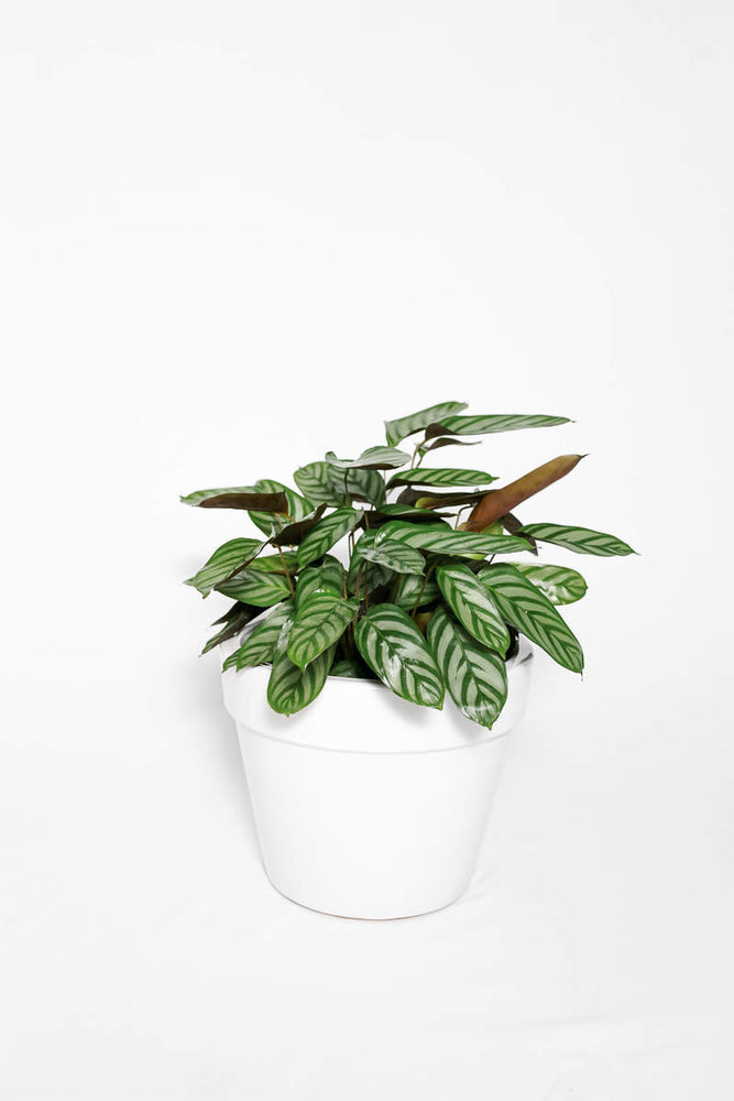 Load image into Gallery viewer, Calathea Majestica Exotica 8""