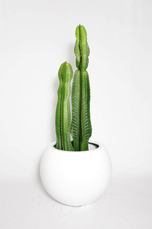 Load image into Gallery viewer, Euphorbia Ingens Cactus 2 Piece