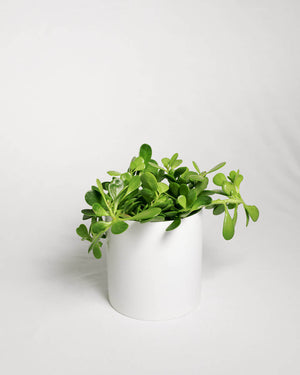 "Load image into Gallery viewer, Senecio Jacobsenii ""Trailing Jade"""