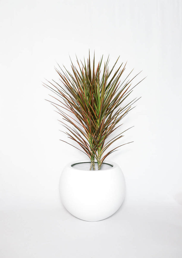 Load image into Gallery viewer, Dracaena Bicolor, 3p, 3' (Two Colors)