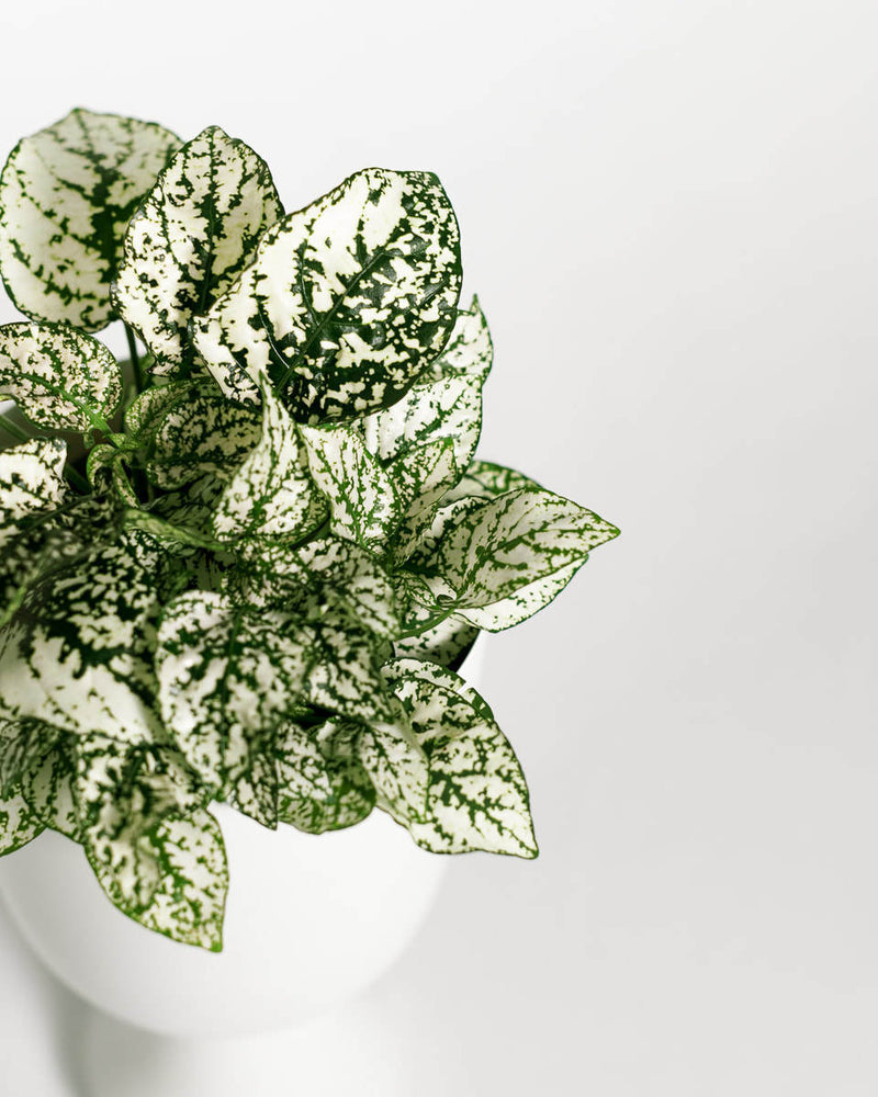 Load image into Gallery viewer, Hypoestes White Splash