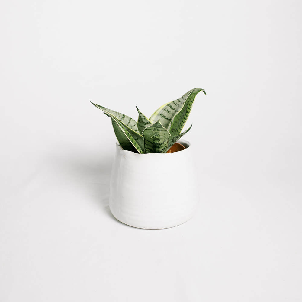 Load image into Gallery viewer, Sansevieria Hahnii Silver Star