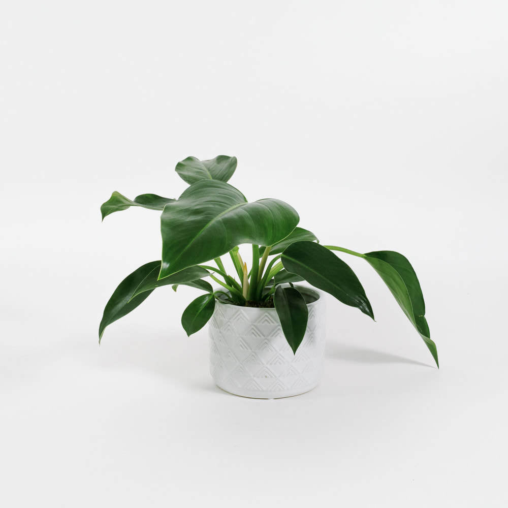 Philodendron Congo Green