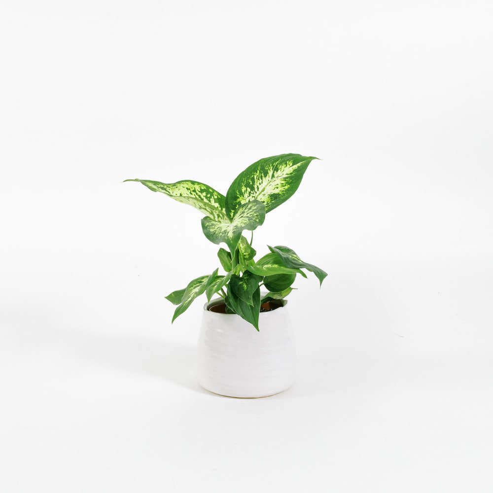 Load image into Gallery viewer, Dieffenbachia Compacta