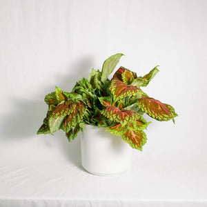 Load image into Gallery viewer, Kong Coleus