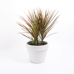 Load image into Gallery viewer, Dracaena Colorama