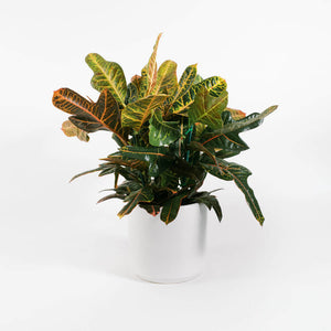 Load image into Gallery viewer, Croton Oakleaf