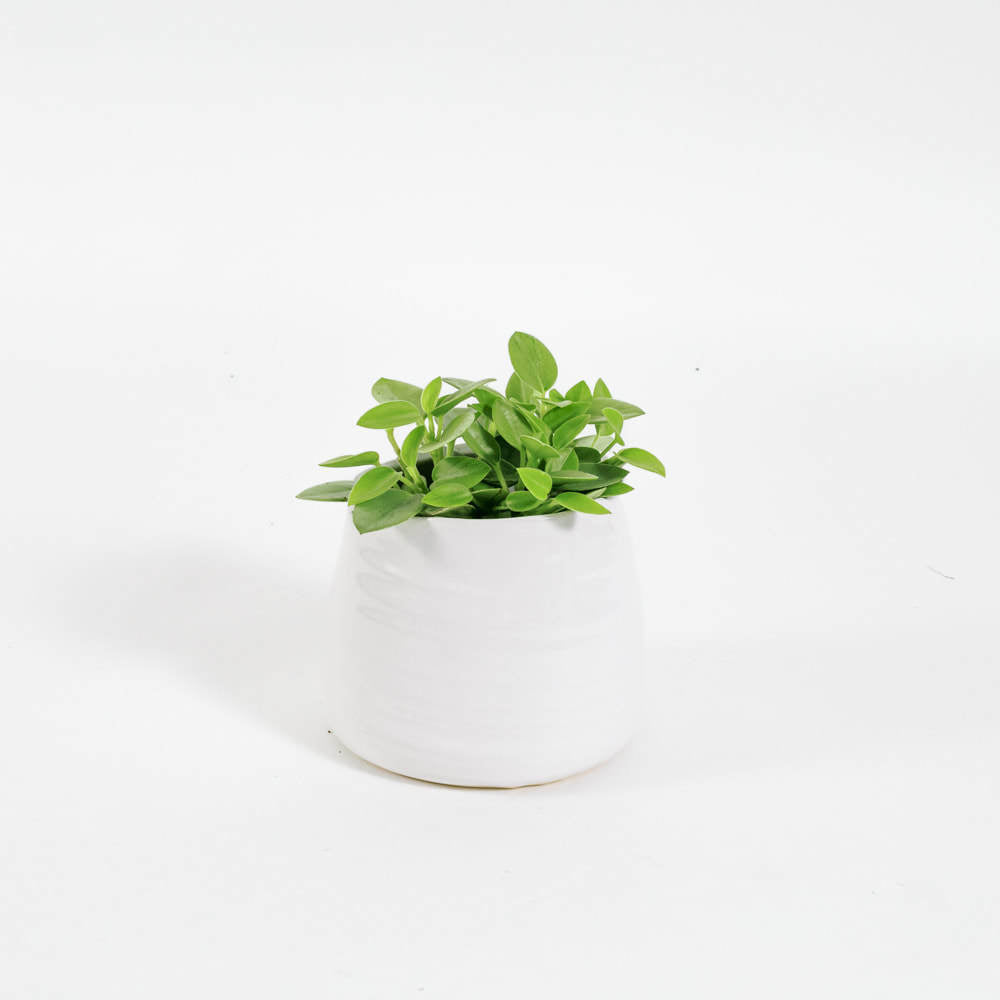 Load image into Gallery viewer, Peperomia Pixie Lime