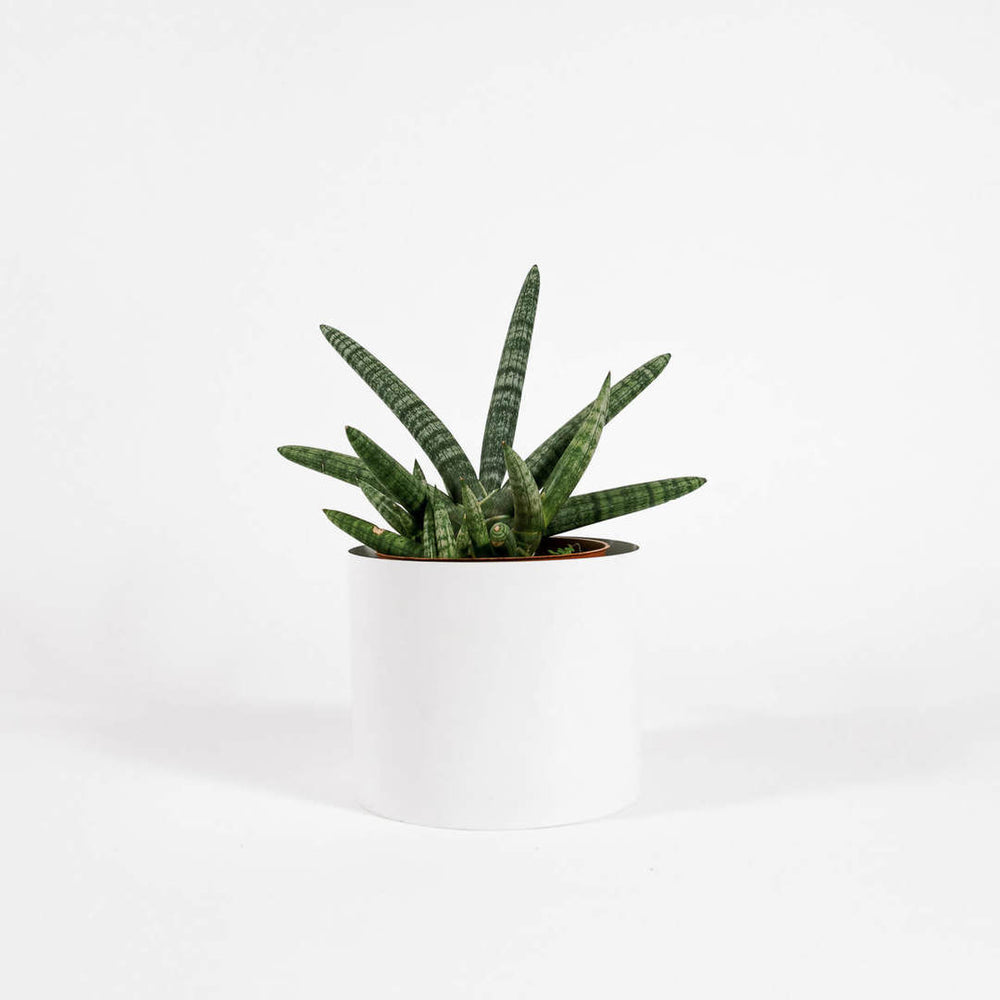 Load image into Gallery viewer, Sansevieria cylindrica 'starfish'