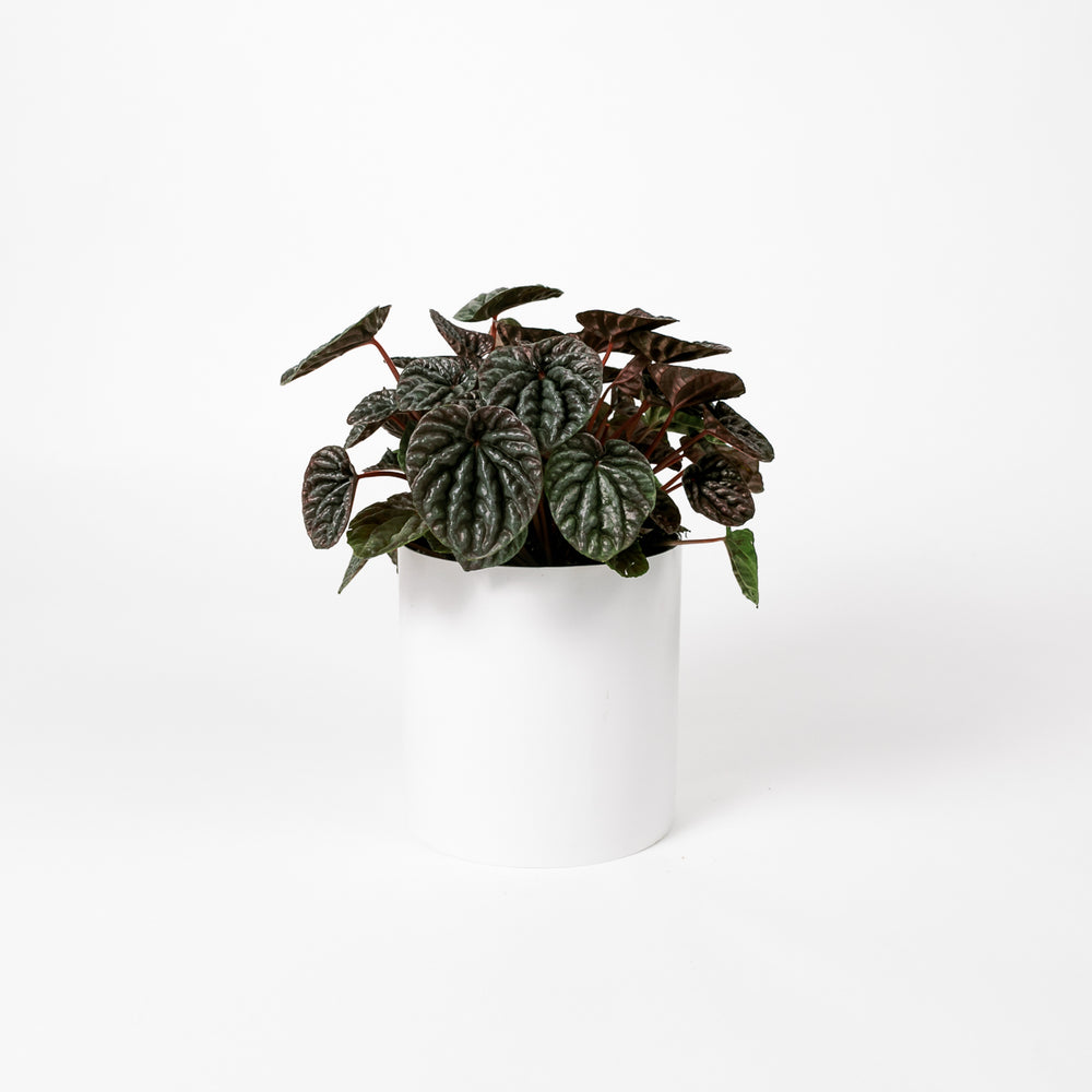 Load image into Gallery viewer, Peperomia Caperata