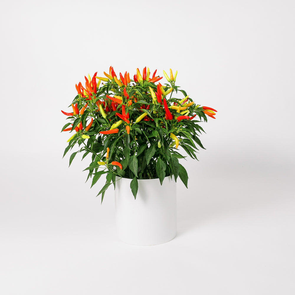 Load image into Gallery viewer, Ornamental Pepper (Multi)