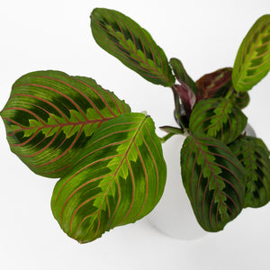 Load image into Gallery viewer, Maranta Red