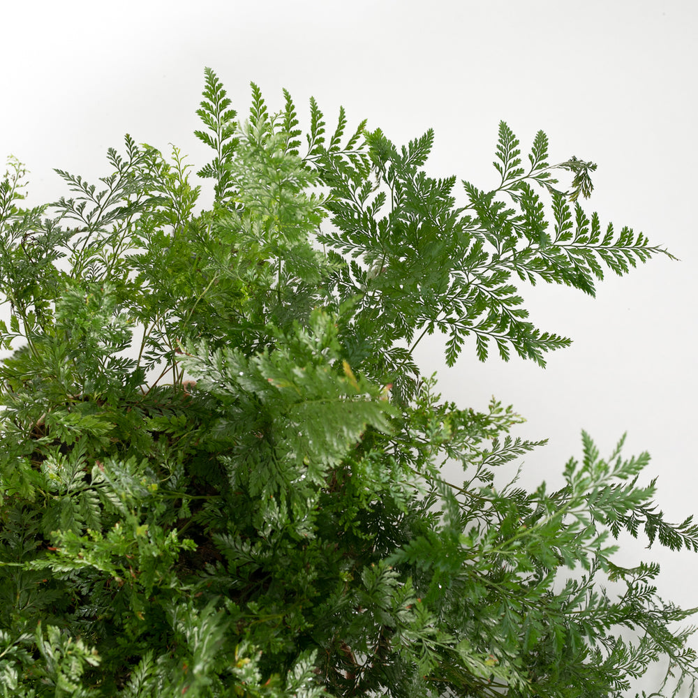 Load image into Gallery viewer, Rabbit's Foot Fern