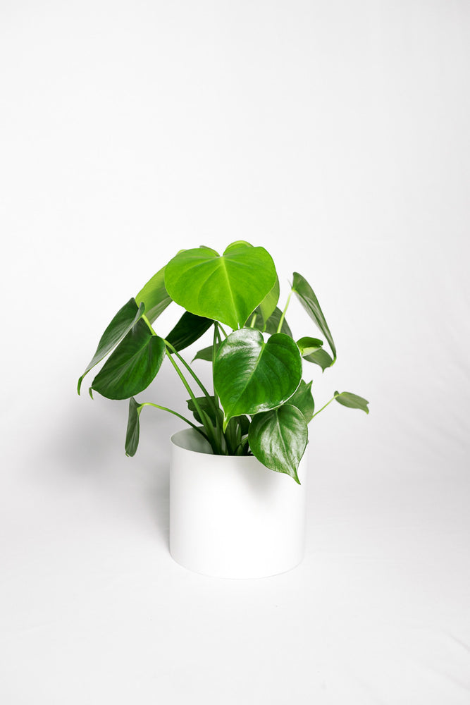 Load image into Gallery viewer, Monstera Deliciosa (Split Leaf Philodendron)