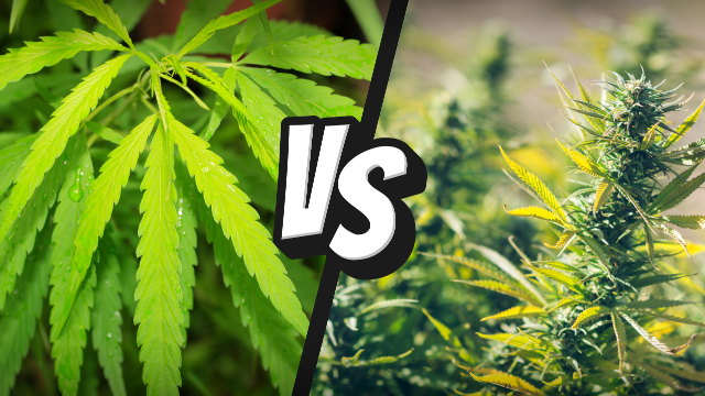 What is the Difference Between CBD from Hemp and Cannabis?