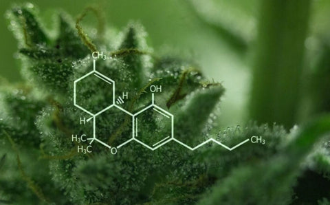 THC- discovering the science behind marijuana