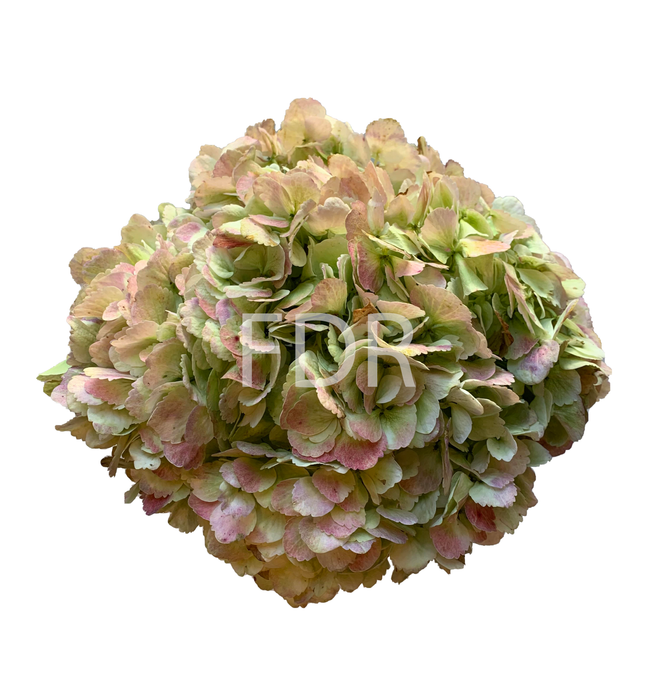 Hydrangea - Antique Green JUMBO (18 STEMS)