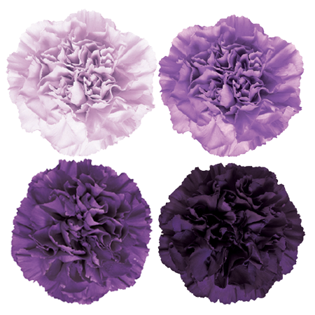 Carnations - *ASSORTED* Moonaqua / Moonlite / Moonshade / Moonvista (100 Stems)